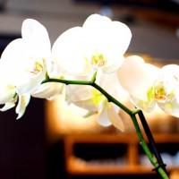 Orchidee im Elbgold