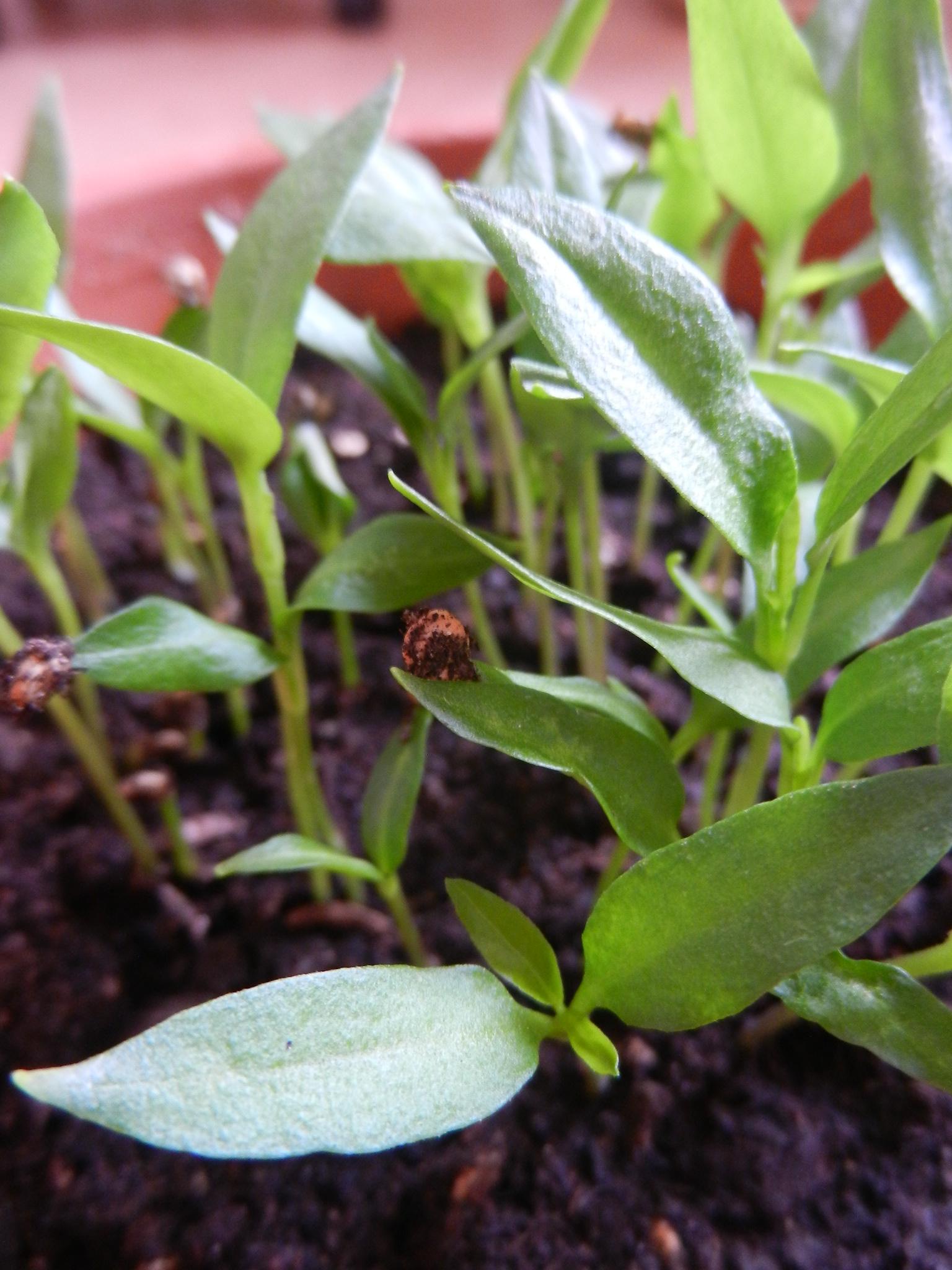Pepperoncino-Pflänzchen